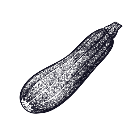 Zucchini. Hand drawing of vegetable. Vector art illustration. Isolated image of black ink on white background. Vintage engraving. Kitchen design for decoration recipes, menus, signage shops, markets