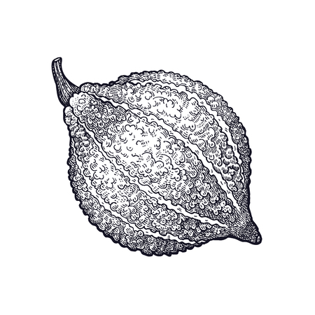 Hubbard squash. Hand drawing of vegetable pumpkin. Vector art illustration. Isolated image of black ink on white background. Vintage engraving. Kitchen design for decoration recipes, menus, markets. Çizim