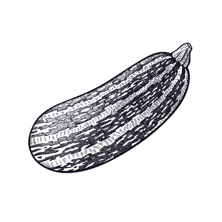 Squash. Hand drawing of vegetable. Vector art illustration. Isolated image of black ink on white background. Vintage engraving. Kitchen design for decoration recipes, menus, signage shops and markets. Stock Illustratie