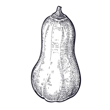 Butternut. Hand drawing of vegetable pumpkin. Vector art illustration. Isolated image of black ink on white background. Vintage engraving. Kitchen design for decoration recipes, menus, shops, markets.