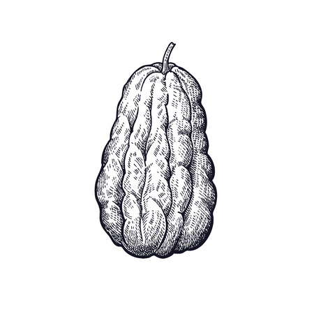 Chayote. Hand drawing of vegetable. Vector art illustration. Isolated image of black ink on white background. Vintage engraving. Kitchen design for decoration recipes, menus, signage shops and markets Illustration