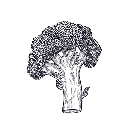 Broccoli. Hand drawing of vegetables. Vector art illustration. Isolated image of black ink on white background. Vettoriali