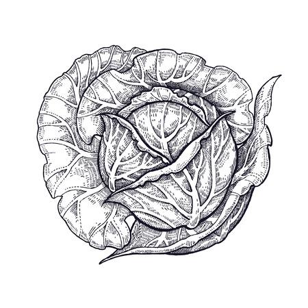 キャベツ。野菜の手描き。ベクターアートイラスト。白い背景に黒インクの分離画像。  イラスト・ベクター素材