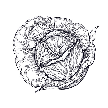 Cabbage. Hand drawing of vegetables. Vector art illustration. Isolated image of black ink on white background.