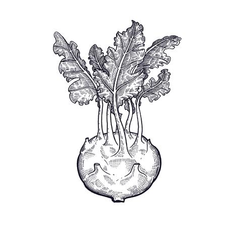 キャベツのコルラビ野菜の手描き。ベクターアートイラスト。白い背景に黒インクの分離画像。