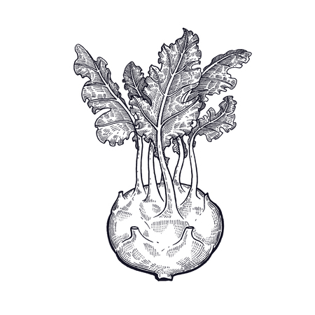 Cabbage kohlrabi. Hand drawing of vegetables. Vector art illustration. Isolated image of black ink on white background.