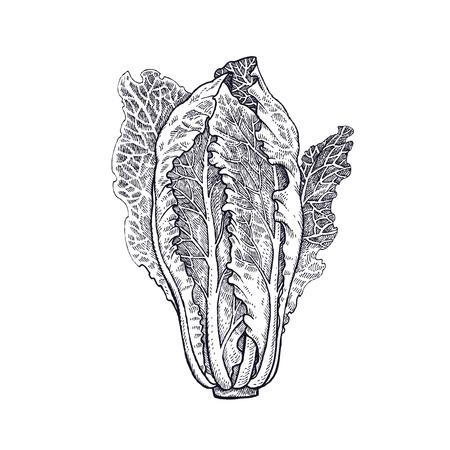 レタス・ロメイン植物を隔離した。白と黒ベクトルイラスト。手描き方ヴィンテージ彫刻。
