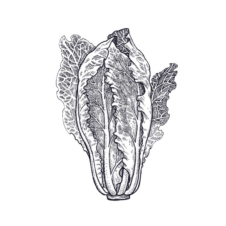 Lettuce romaine. Plant isolated. White and black. Vector illustration. Hand drawing style vintage engraving. Illustration