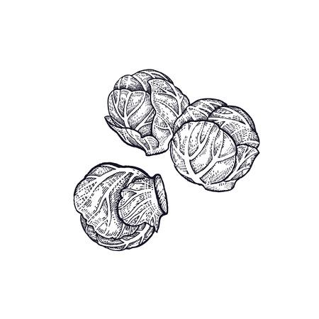 芽キャベツ。野菜の手描き。ベクターアートイラスト。白い背景に黒インクの分離画像。