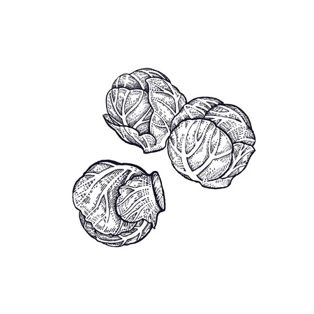 Brussels sprouts. Hand drawing of vegetables. Vector art illustration. Isolated image of black ink on white background. Stock Illustratie