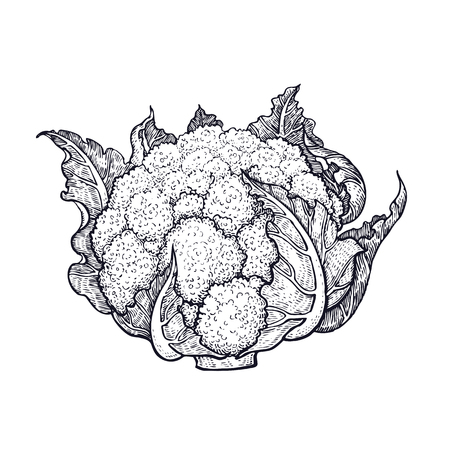 Cauliflower. Hand drawing of vegetables. Vector art illustration. Isolated image of black ink on white background. Vettoriali