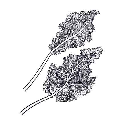 キャベツの葉っぱ野菜の手描き。ベクターアートイラスト。白い背景に黒インクの分離画像。