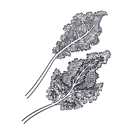 Cabbage leaf. Hand drawing of vegetables. Vector art illustration. Isolated image of black ink on white background. Vectores
