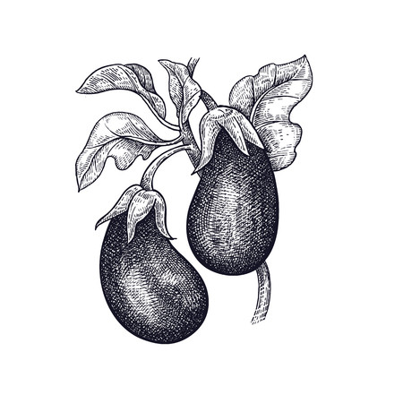 Eggplant. Hand drawing of vegetable. Vector art illustration. Isolated image of black ink on white background.