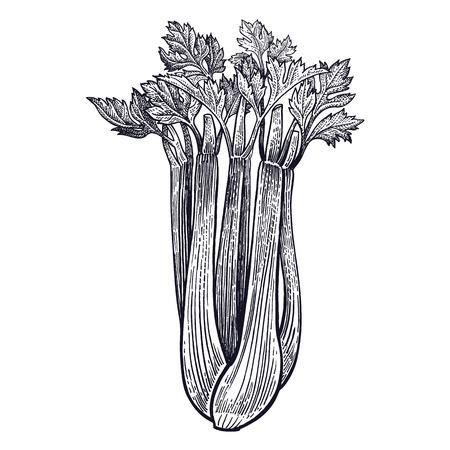 셀러리. 절연 공장. 디자인 메뉴, 요리법, 장식 부엌 항목에 대 한 채식 음식. 흰색과 검정색. 벡터 그림 예술입니다. 손을 야채 그리기입니다. 빈티지  일러스트
