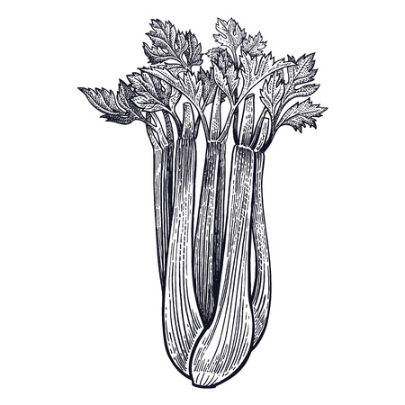 Celery. Plant isolated. Vegetarian food for design menu, recipes, decoration kitchen items. White and black. Vector illustration art. Hand drawing of vegetables. Vintage engraving. Vettoriali