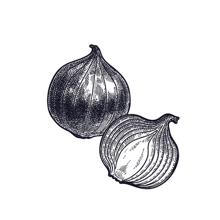 Bulb onions. Plant isolated. Vegetarian food for design menu, recipes, decoration kitchen items. White and black. Vector illustration art. Hand drawing of vegetables. Vintage engraving.