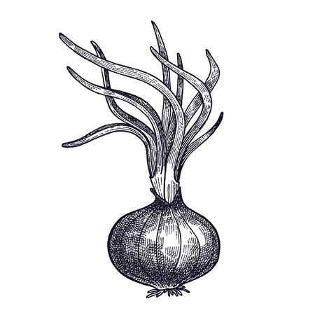 玉ねぎが発芽した。植物を隔離した。デザインメニュー、レシピ、装飾キッチンアイテムのためのベジタリアン食品。白と黒ベクトルイラストアー