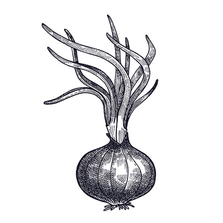 Onion germinated. Plant isolated. Vegetarian food for design menu, recipes, decoration kitchen items. White and black. Vector illustration art. Hand drawing of vegetables. Vintage engraving. Vettoriali