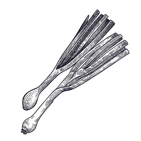 파. 절연 공장. 디자인 메뉴, 요리법, 장식 부엌 항목에 대 한 채식 음식. 흰색과 검정색. 벡터 그림 예술입니다. 손을 야채 그리기입니다. 빈티지 조각.