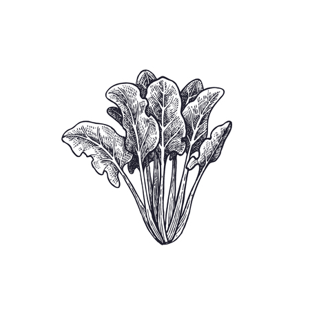 Spinach. Vegetables isolated for kitchen design. Vector illustration of food. Hand drawing style vintage engraving. Black and white.
