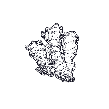 Ginger. Vegetables isolated for kitchen design. Vector illustration of food. Hand drawing style vintage engraving. Black and white.