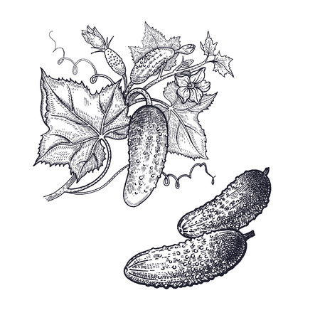 Cucumber. Vegetables isolated for kitchen design. Vector illustration of food. Hand drawing style vintage engraving. Black and white.