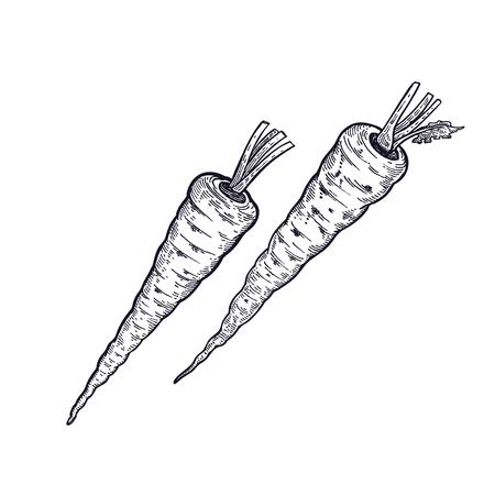 Parsnip. Hand drawing of vegetable. Vector art illustration. Isolated image of black ink on white background. Vintage engraving. Kitchen design for decoration recipes, menus, sign shops, markets.