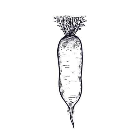 Turnip vector art illustration.