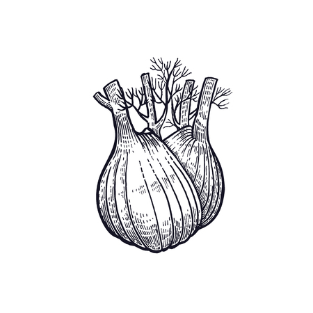 Fennel. Hand drawing of vegetable. Vector art illustration. Isolated image of black ink on white background. Vintage engraving. Kitchen design for decoration recipes, menus, sign shops, markets. Çizim