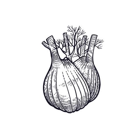 Fennel. Hand drawing of vegetable. Vector art illustration. Isolated image of black ink on white background. Vintage engraving. Kitchen design for decoration recipes, menus, sign shops, markets. Vettoriali