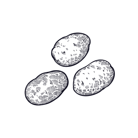 Potatoes. Hand drawing of vegetable. Vector art illustration. Isolated image of black ink on white background. Vintage engraving. Kitchen design for decoration recipes, menus, sign shops, markets.