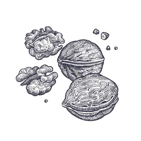 호두 견과류 현실적인 절연입니다. 음식의 벡터 일러스트 레이 션. 빈티지 조각 예술. 손 그리기 식물입니다. 흑인과 백인 스케치입니다.