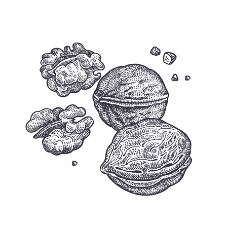 Walnut nuts realistic isolated. Vector illustration of food. Vintage engraving art. Hand drawing plants. Black and white sketch.