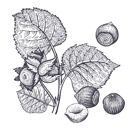 Branch of hazel and hazelnuts nuts realistic isolated. Vector illustration of food. Vintage engraving art. Hand drawing plants. Black and white sketch. Vettoriali
