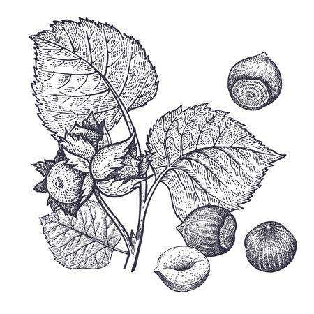 Tak van hazelaar en hazelnoten noten realistisch geïsoleerd. Vector illustratie van voedsel. Vintage gravure kunst. Hand tekenen planten. Zwart-witte schets.