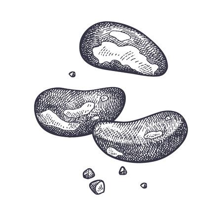 브라질 너트 현실적인 절연입니다. 음식의 벡터 일러스트 레이 션. 빈티지 조각 예술. 손 그리기 식물입니다. 흑인과 백인 스케치입니다. 일러스트