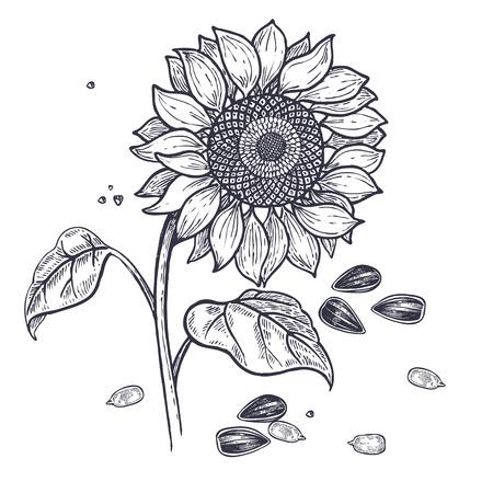 Girassol e sementes realistas isolados. Ilustração em vetor de comida. Arte da gravura do vintage Plantas de desenho de mão. Desenho preto e branco.