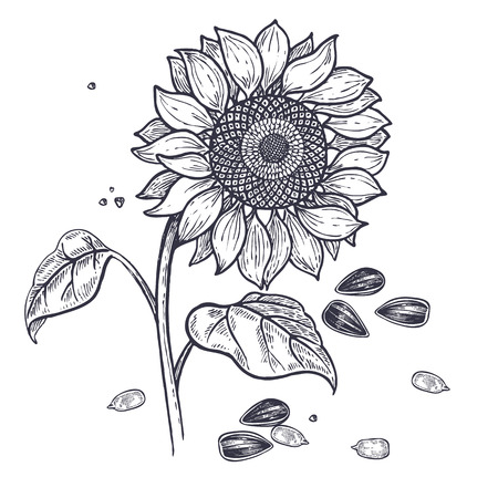 Sunflower and seeds realistic isolated. Vector illustration of food. Vintage engraving art. Hand drawing plants. Black and white sketch.