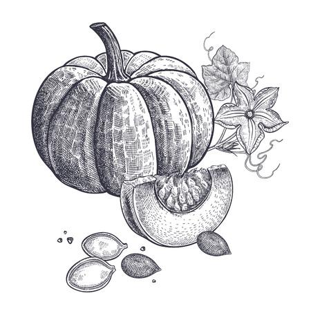 Kürbis, Blume und Samen realistisch lokalisiert. Vektor-Illustration von Lebensmitteln. Vintage Gravur Kunst. Handzeichnung Pflanzen. Schwarzweiss-Skizze. Standard-Bild - 94826312