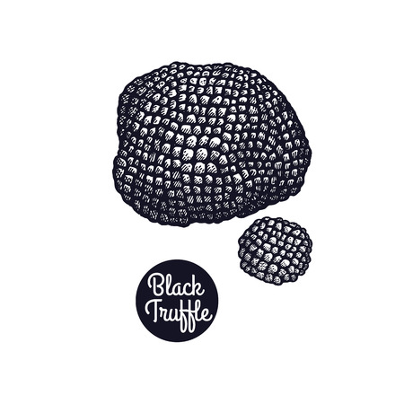 Hand drawing a gourmet mushroom Black Truffle style vintage engraving graphics in black ink isolated objects of nature cooking food design. Vectores