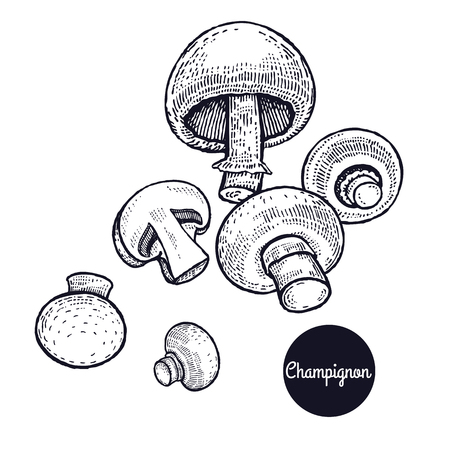 Hand drawing a gourmet mushroom Champignon style vintage engraving graphics in black ink isolated objects of nature cooking food design.