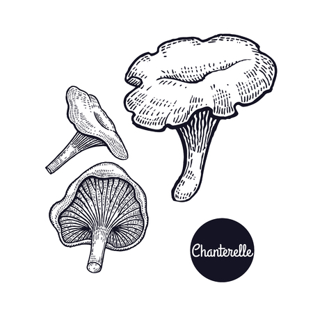 Hand drawing a gourmet mushroom Chanterelle style vintage engraving graphics in black ink isolated objects of nature cooking food design.