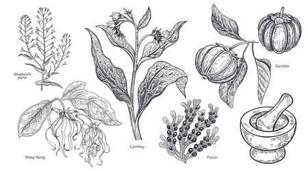 孤立した医療植物、花やハーブのセット。イランイラン、羊飼いの財布、コンフリー、フルーツガルシニア、藻類のフカス、モルタルと害虫。ヴィ