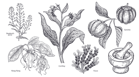 Set of isolated medical plants, flowers and herbs. Ylang-Ylang, shepherds purse, comfrey, fruit garcinia, algae fucus, mortar and pestle. Vintage engraving. Vector illustration. Black and white.