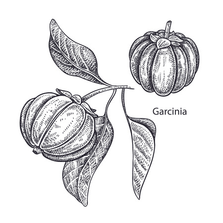 Realistic medical plant Garcinia. Vintage engraving. Vector illustration art. Black and white. Hand drawn of branch with fruits and leaves. Alternative medicine series.