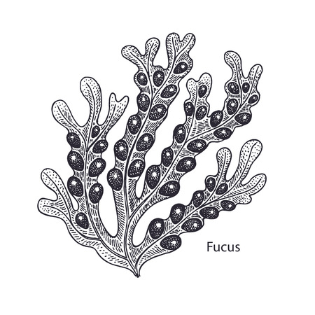 Realistic medical water plant fucus. Vintage engraving. Vector illustration art. Black and white. Hand drawn of alga. Alternative medicine series.