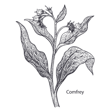 Realistic medical plant Comfrey. Vintage engraving. Vector illustration art. Black and white. Hand drawn of flower. Alternative medicine series. 일러스트