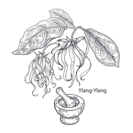 Realistic medical plant Ylang-Ylang, mortar and pestle. Vintage engraving. Vector illustration art. Black and white. Hand drawn of flower. Alternative medicine series. Ilustração