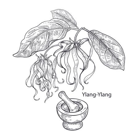 Realistic medical plant Ylang-Ylang, mortar and pestle. Vintage engraving. Vector illustration art. Black and white. Hand drawn of flower. Alternative medicine series. Illustration